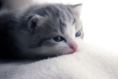 Lazy Kitten. Kitten sleeping on a white blanket royalty free stock photos