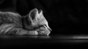 Lazy kitten cat lie on wood ground closeup on its face black and. White lowkey Royalty Free Stock Photos