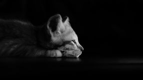 Lazy kitten cat lie on wood ground closeup on its face black and Royalty Free Stock Photography