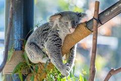 Koala. Lazy koala lying in a tree at the San Diego Zoo stock photos