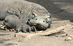 Lazy komodo dragon with closed eyes. Abig dragonof Komodo island sleeps on the ground Stock Photos