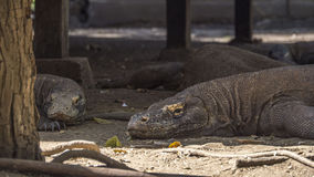 Lazy komodo dragons in the shade Stock Image