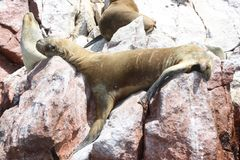 Lazy Laziness. A sea lion that warms in the sun Stock Photo