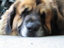 Lazy Leonberger dog. A very lazy Leonberger dog stock images
