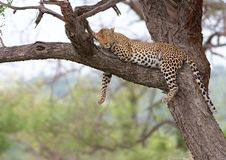 Lazy leopard Royalty Free Stock Photos