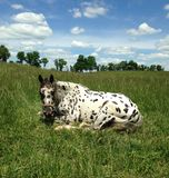 Lazy Leopard Appaloosa. Beautiful spotted horse lounging in the sun Royalty Free Stock Photo