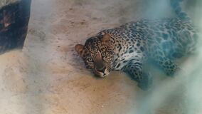 Lazy leopard in an eco park or zoo, falls asleep and relax
