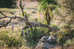 Lazy Leopard royalty free stock photo