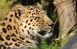 Lazy leopard Stock Photo