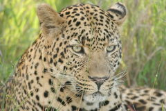 Lazy leopard. The leopard was in the Reserve. He was very relax in the late afternoon sun Stock Photo