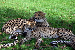 Lazy Leopards. Leopards (Panthera pardus) lazy afternoon in the sun Stock Images