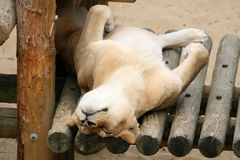 Lazy Lion. Lying on his back stock image