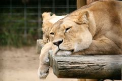 Lazy Lion. Lying down in the zoo royalty free stock image