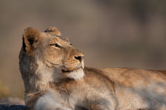 Lazy Lion Royalty Free Stock Photos