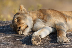Lazy Lion Royalty Free Stock Photo