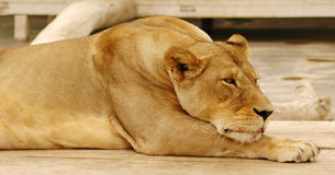 Lazy lion #2 Royalty Free Stock Photography