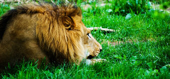 A Lazy Lion. Resting in the grass Royalty Free Stock Photos