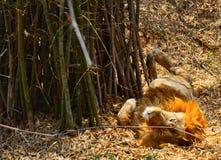 A lazy lion. Bannergatta national park safari Stock Photography