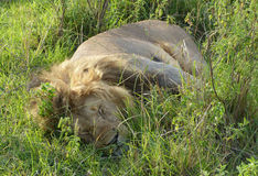 Lazy lion. A big lazy lion in Africa Stock Photo