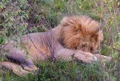 Lazy lion Stock Images