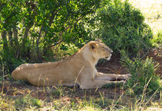 Lazy lion Royalty Free Stock Images