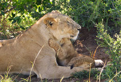 Lazy lion. A big lazy lion in Africa Royalty Free Stock Image
