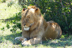 Lazy lion. A big lazy lion in Africa Stock Photos