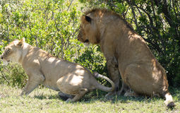 Lazy lion. A big lazy lion in Africa Stock Images