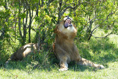 Lazy lion Royalty Free Stock Photos