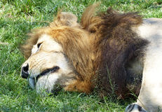 Lazy lion. A big lazy lion in Africa Royalty Free Stock Photography