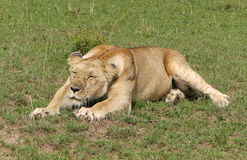 Lazy lion. A big lazy lion in Africa Royalty Free Stock Photos
