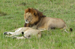 Lazy lion. A big lazy lion in Africa Stock Photography