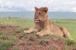 Lazy lion. A big lazy lion in Africa Stock Image