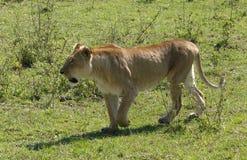 Lazy lion Stock Photography