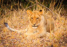 Lazy Lion Cub. A Lion cub being lazy in Karongwe Private Game Reserve, South Africa Stock Image