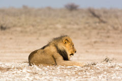 Lazy Lion. Etosha national park. Seen and shot on a self drive safari through several national parks in namibia, africa Stock Photos