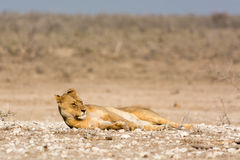 Lazy Lion Royalty Free Stock Photography