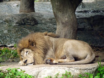 Lazy lion lies down. In the lazy day Royalty Free Stock Photo