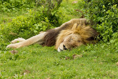 Lazy lion. Lazy male lion lying next to some green bushes in the heat of the day Royalty Free Stock Image