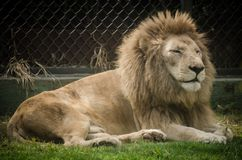 Lazy lion resting in a zoo. General shot of a big feline resting in a zoo Stock Photos