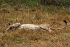 Lazy Lioness Stock Image