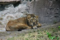 Lazy lioness lying in the shade on a warm summer day stock images