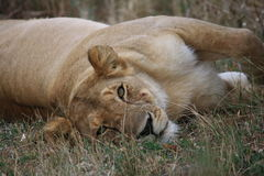 Lazy lioness Royalty Free Stock Images