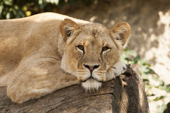 Lazy lioness. Royalty Free Stock Images