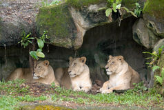 Lazy Lionesses stock photography