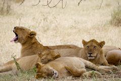 Lazy lionesses. 4 lionesses sleeping in the grass. one jawing. 2 sleeping, 1 looking ahead Royalty Free Stock Photo