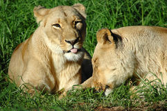 Lazy lions. Outdoor portrait of two African lions resting in green grass Stock Image