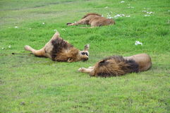 Lazy lions Stock Photo