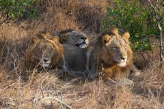Lazy Lions in Kruger National Park royalty free stock photos