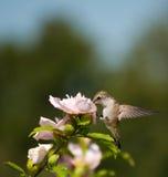 Lazy little Hummingbird feeding Stock Photo